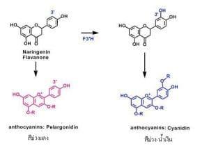anthocyanin change